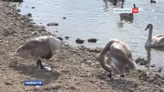 Спасение лебедей – дело общее(Как сохранить живую достопримечательность города?, 2016-10-24T13:30:20.000Z)