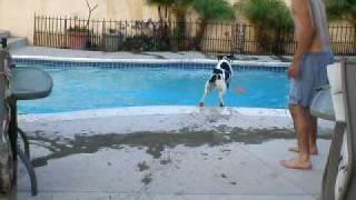 English Springer Swimming 2