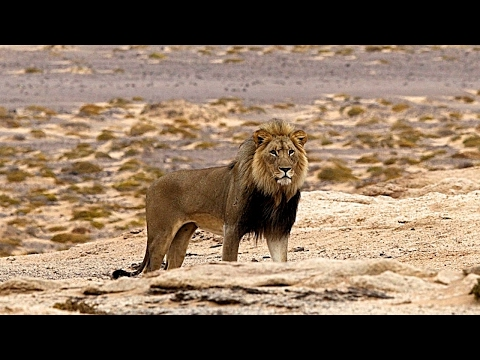 The Life Of The King Of The African Jungle - Lion Documentary HD