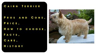 Cairn Terrier. Pros and Cons, Price, How to choose, Facts, Care, History