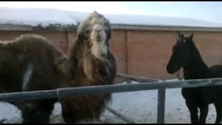 Верблюд и конь дерутся за человеческую бабу