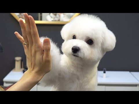 Thank you very much. / pet dog Bichon Frise first grooming.