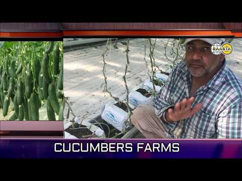 Woolgoolga Farming State || Punjabi Farmer Australia || Growing techniques Blueberry & Cucumber