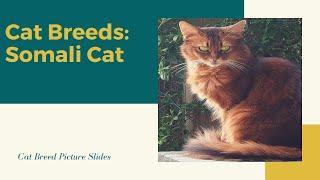 Somali Slides  Cat Breeds