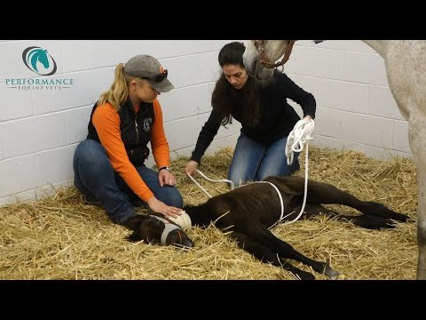 Madigan Squeeze on Neonatal Mal-Adjusted Red Bag Foal
