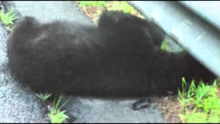Black Bear Road Kill