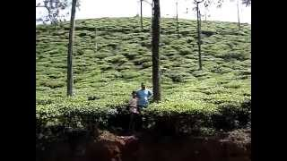 Tea Plantation Wynad  Kerala