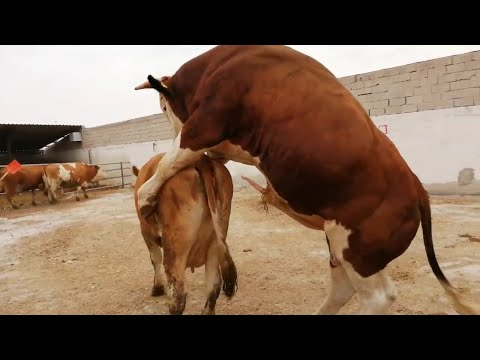 Bulls and cows meeting in farm #part 23- Daily Farming 2019