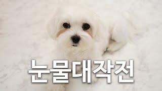 강아지 눈물자국 없애기 대작전 with 리얼 인섹트