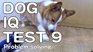 The Canine Iq Test 9 Problem Solving 犬のiqテスト 9 問題解決能力 Goro@welsh Corgi コーギー Dog K9