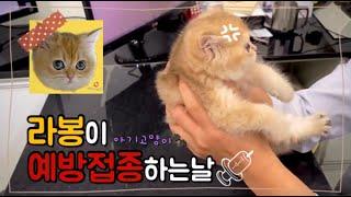 [PETLOG]아기브리숏 고양이 예방접종하러 병원간날/…