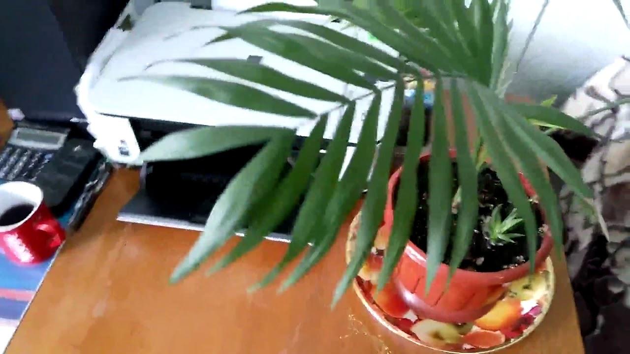 почему желтеет пальма комнатная