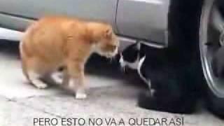 Videos de Animales y Mascotas Video Bronca al gatito