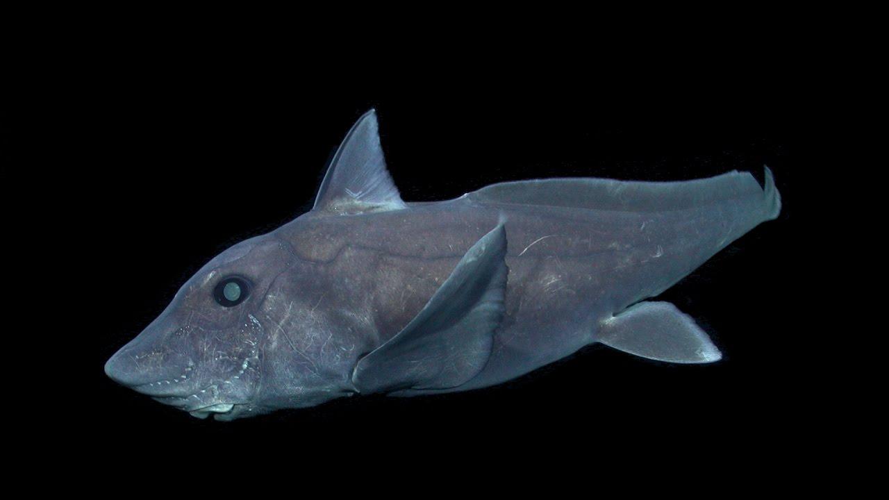 Vea el VIDEO del tiburón fantasma, una criatura más antigua que los dinosaurios