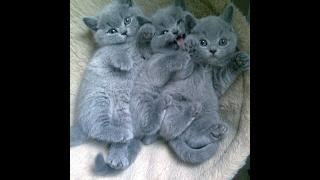 Наши дети - британские котята