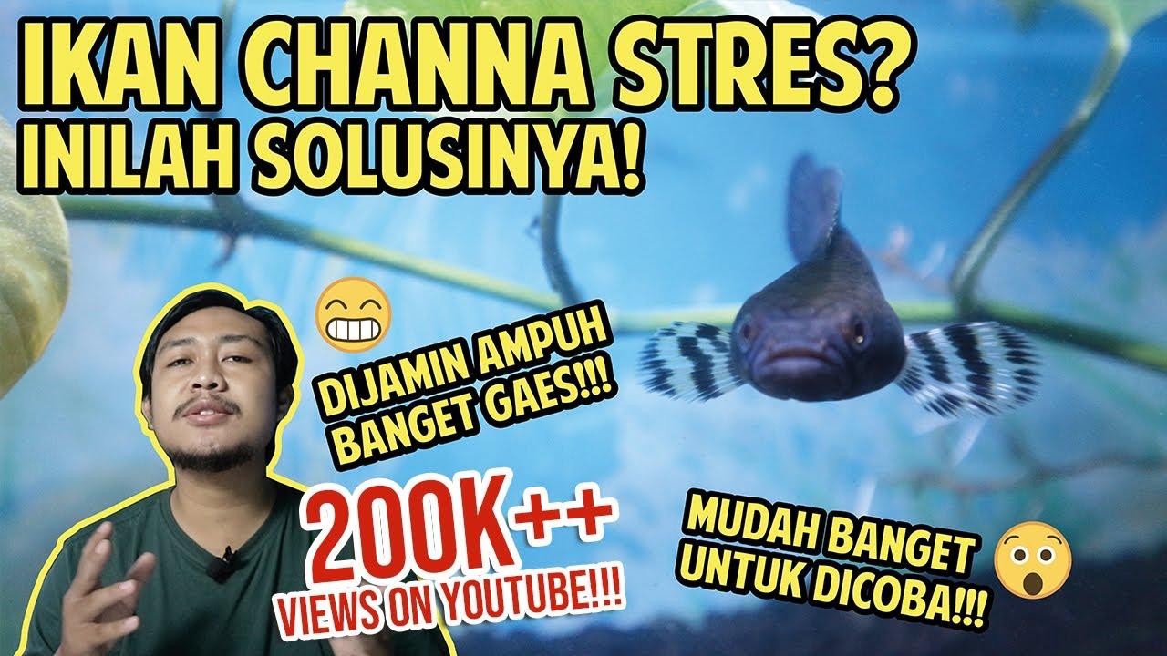 Cara Sederhana Mengatasi Ikan Channa Stres Ternyata Mudah Banget Youtube