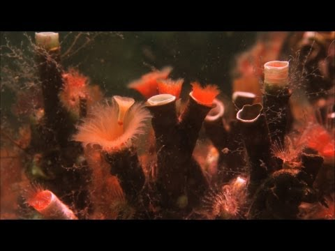Serpulid Worms  Hebrides: Islands on the Edge  Episode 2 P  BBC Two