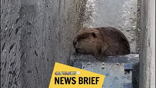 Trapped beaver rescued at work site