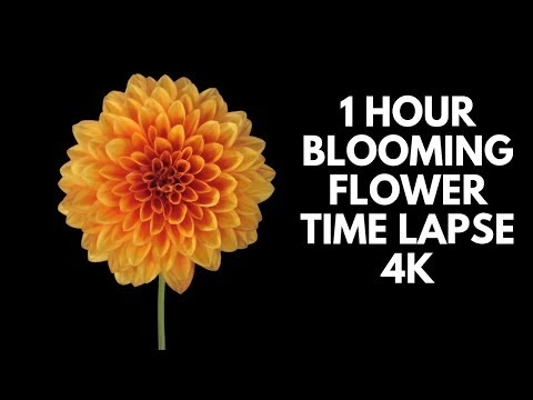 4K Blooming Flowers Time Lapse for Relaxation Soft Piano Music
