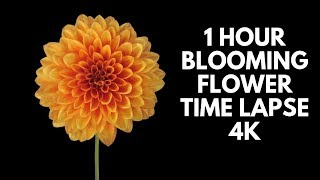 4K Blooming Flowers Time Lapse for Relaxation Soft Piano Music screenshot 4