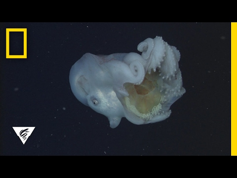 Giant Deep-Sea Octopus Devours Jellyfish—And Keeps The Stingers | National Geographic