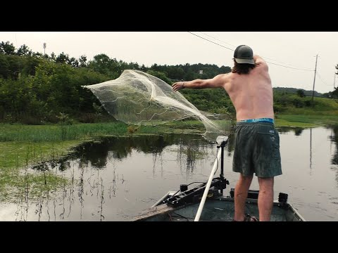 Net Fishing For The American Shad!