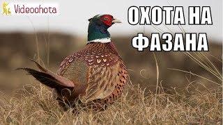 Охота на фазана! НОВЫЙ сезон - Videoohota