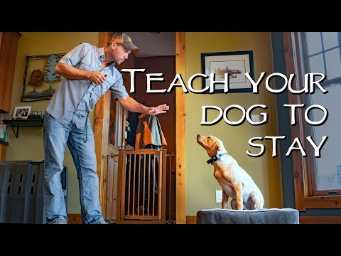 Labrador Retriever Teach Your Dog To Stay - No Matter What - Gun Dog Training