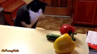 Kot I Ogorek Cat Meme Tube