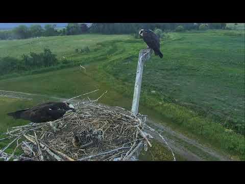 Osprey Nest - Charlo Montana Cam 07-08-2017 05:06:26 - 06:06:26
