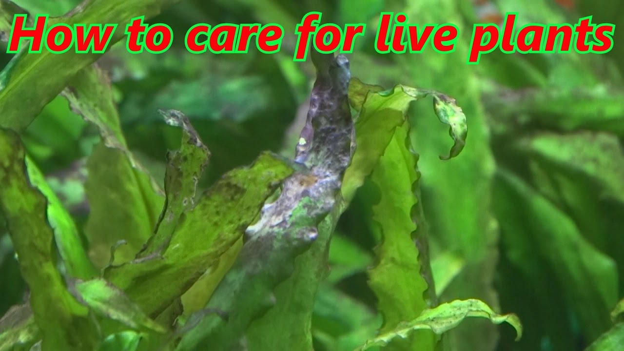 how to care for live plants in your aquarium  for