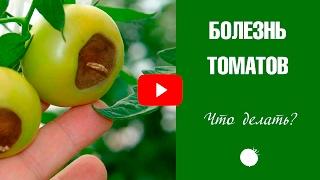 Болезни томатов и их лечение 🍅  Вершинная гниль ✓ Эксперт ХитсадТВ