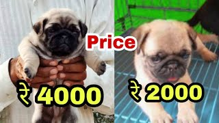Pug dog price difference