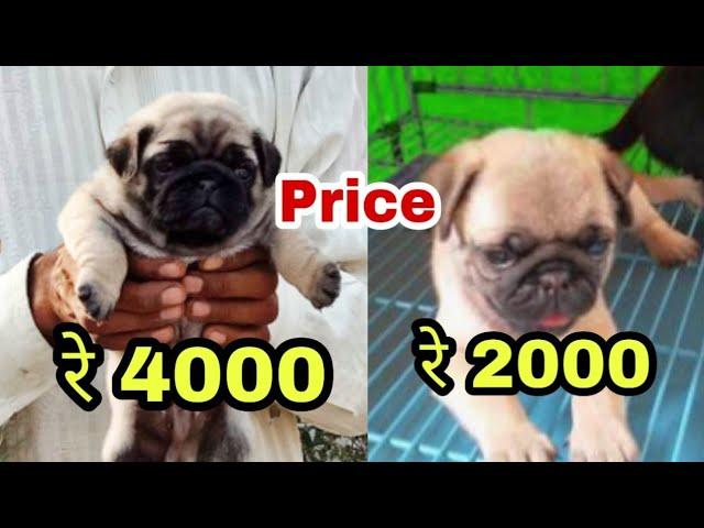 Pug Dog Price Difference You