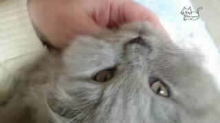 Британский длинношерстный котенок. Нежный и ласковый.