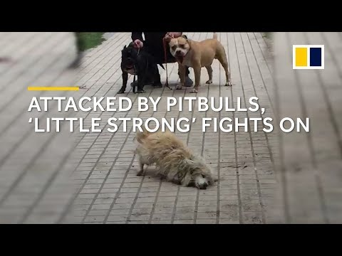 Attacked By Pitbulls, Stray Dog 'Little Strong' In China Fights On