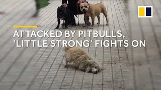 Attacked by pitbulls, stray dog \'Little Strong\' in China fights on