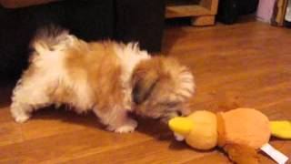 shorkie puppies playing, adopted shorkie puppy Princess shorkies in Illionis :0)