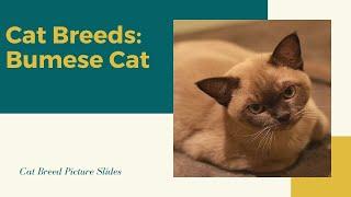 Burmese Slides  Cat Breeds