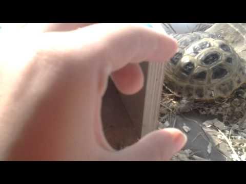 Как узнать пол вашей сухопутной черепахи.