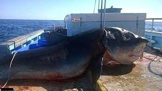 【衝撃】今までに捕獲された最大のホホジロザメ5選