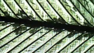 Feather Mites