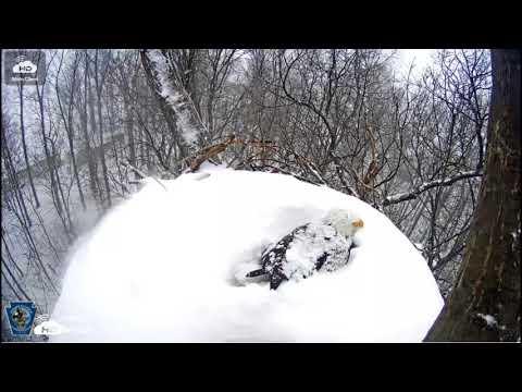Snow covers bald eagle nest near Hanover