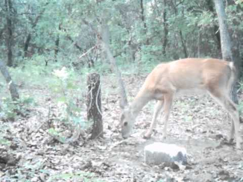 Butterscotch In Deer Mineral Licks