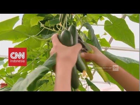 Pertanian Arab Berkembang Berkat Hidroponik