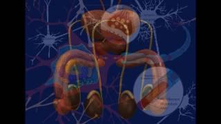 Seminal Vesicles Grow & Activity Enhancement -Ejaculations~Sem…