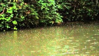 在馬來西亞婆羅洲,Batang Ai 水庫的上游,某天早晨六點多,我們看到了...