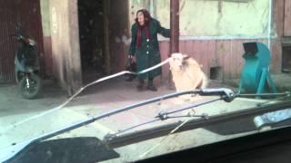 бабуля и козёл.3gp