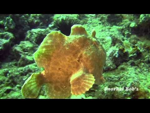 Frogfish On Parade
