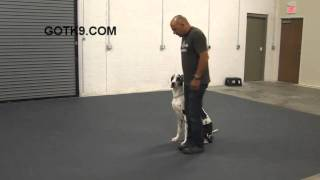 Great Dane Dog Training By Got K9 In Las Vegas Nevada